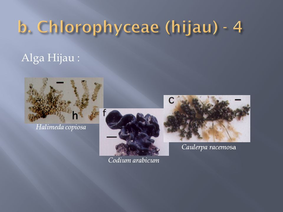 Alga Hijau : Halimeda copiosa Codium arabicum Caulerpa racemo sa