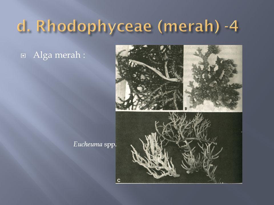  Alga merah : Eucheuma spp.