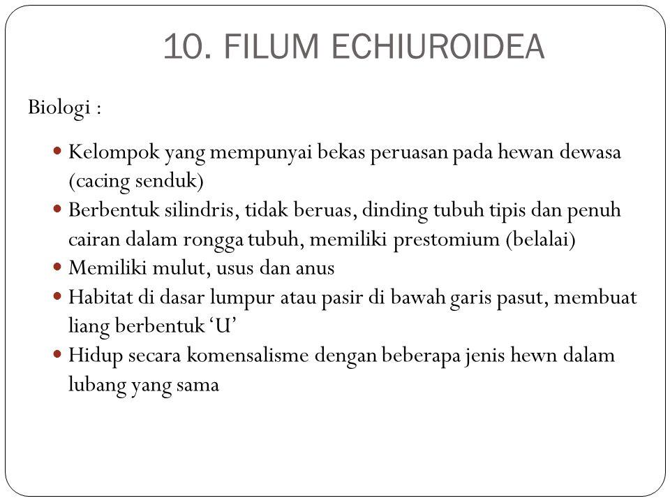 10. FILUM ECHIUROIDEA Biologi : Kelompok yang mempunyai bekas peruasan pada hewan dewasa (cacing senduk) Berbentuk silindris, tidak beruas, dinding tu