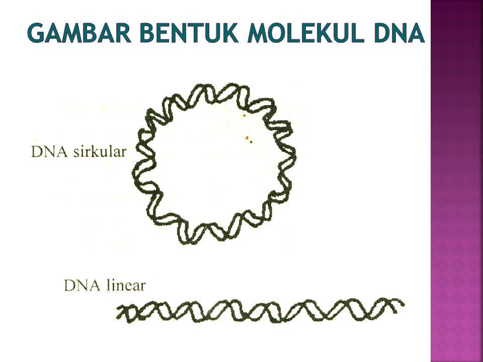  Kromosom  gulungan kromatin  Kromatin  DNA + protein (histon – nirhiston)+ RNA  Nukleosome  1 histon (+) dan 1 segmen DNA (-)  Nirhiston  matriks pengikat pelipatan kromatin
