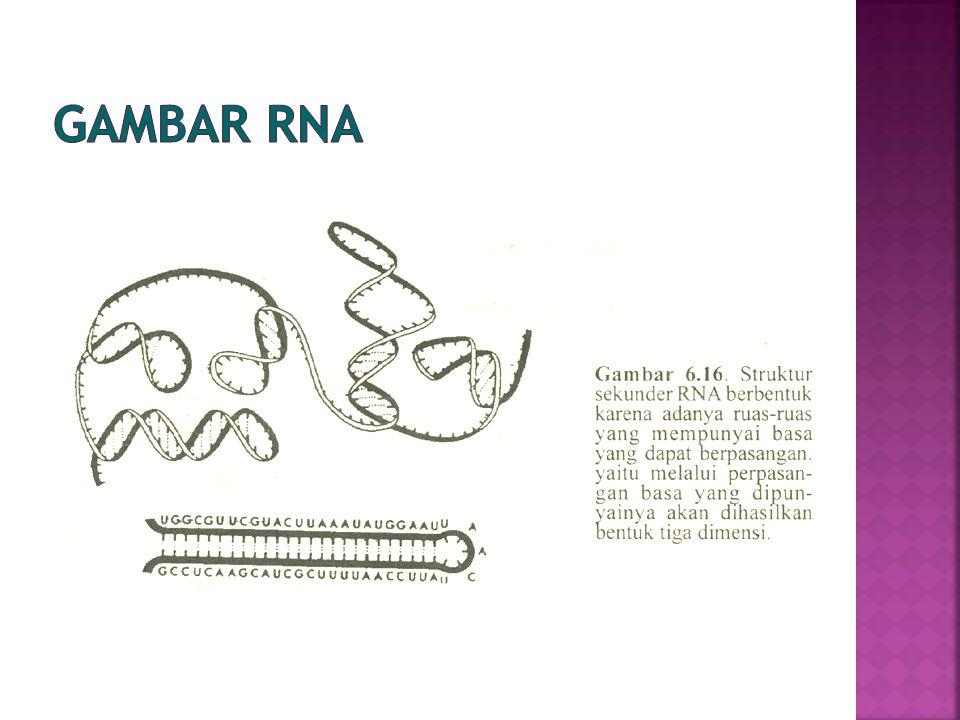  GENOM - gugus/himpunan gen yang lengkap dari suatu organisme, dapat mengendalikan keseluruhan metabolisme sehingga organisme tersebut dapat hidup dengan sempurna - ruas khas dan ruas berulang (repDNA)  palindrom  GEN -bagian genom yang berperan dalam proses ekspresi gen (sebagai ruas model/template/penyandi dalam proses transkripsi  polimerase RNA)