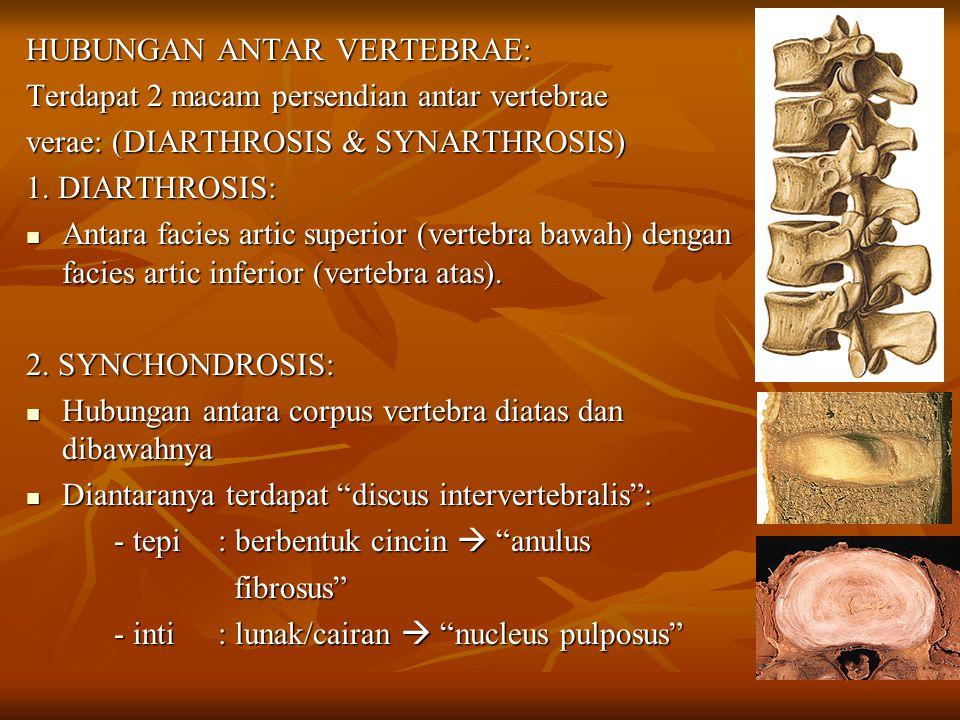 HUBUNGAN ANTAR VERTEBRAE: Terdapat 2 macam persendian antar vertebrae verae: (DIARTHROSIS & SYNARTHROSIS) 1. DIARTHROSIS: Antara facies artic superior