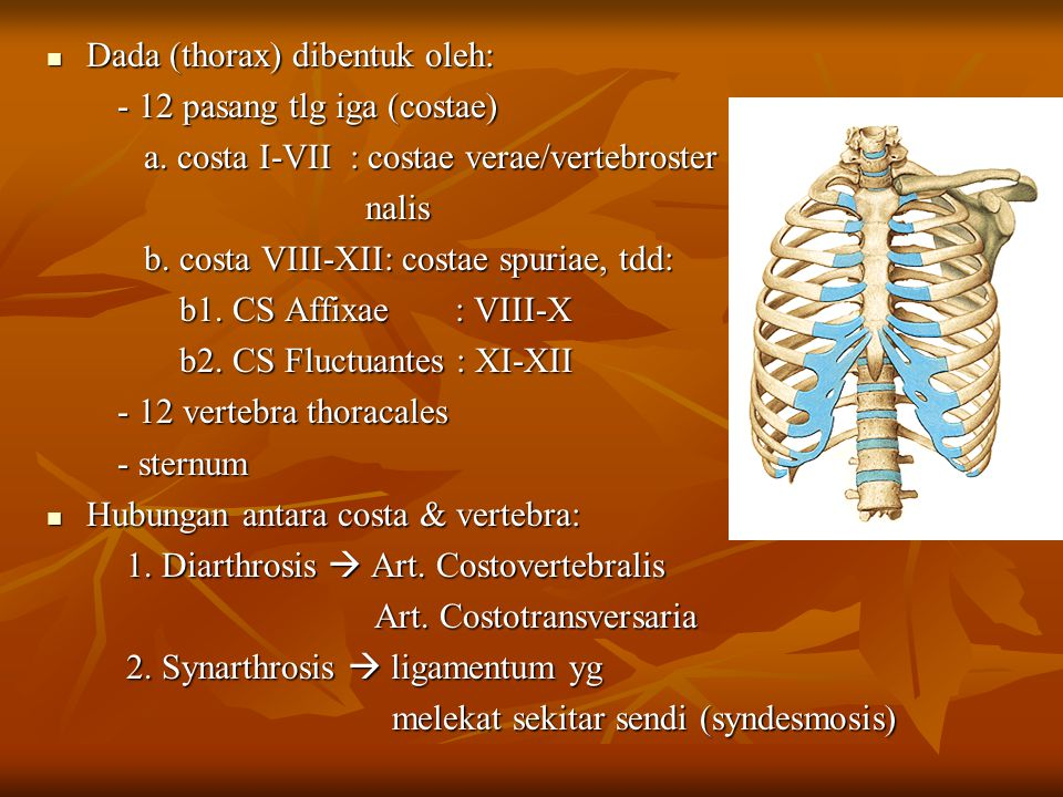 Dada (thorax) dibentuk oleh: Dada (thorax) dibentuk oleh: - 12 pasang tlg iga (costae) - 12 pasang tlg iga (costae) a. costa I-VII : costae verae/vert