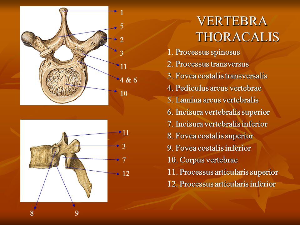 VERTEBRA THORACALIS 1. Processus spinosus 2. Processus transversus 3. Fovea costalis transversalis 4. Pediculus arcus vertebrae 5. Lamina arcus verteb