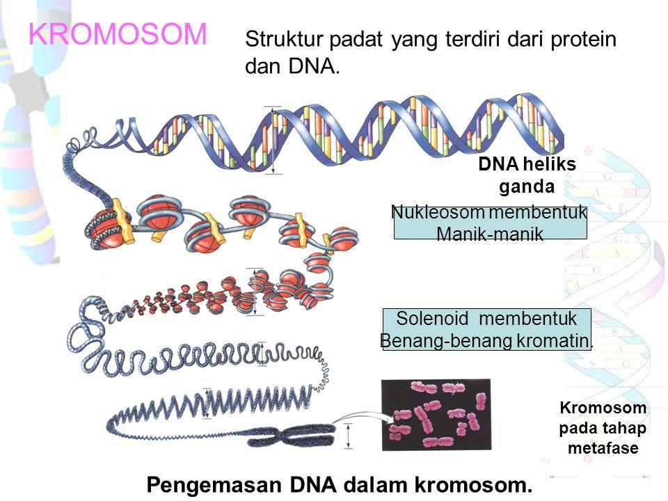PENGEMASAN KROMOSOM SECARA SINGKAT Untaian DNA di pintal pada suatu set protein yaitu histon menjadi suatu bentukan yang disebut nukleosom. Unit-unit