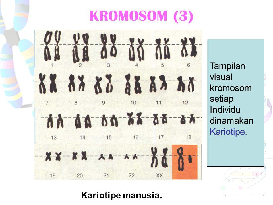 KROMOMER DAN KROMONEMA SUATU KROMOSOM. Kromomer.Kromonema. kromomer Sentromer. kromonema