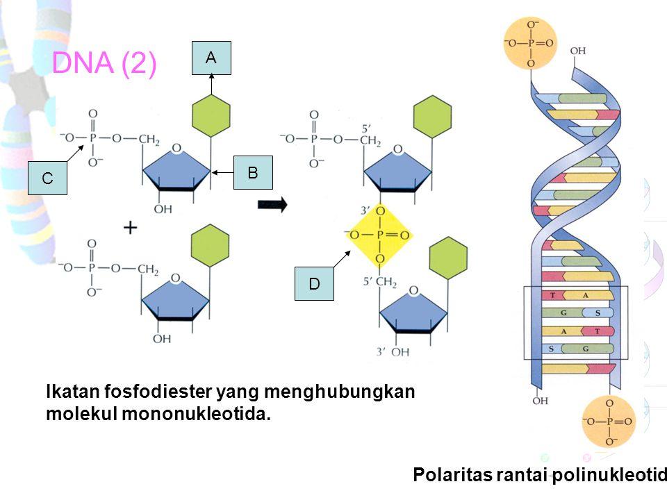 """POLARITAS Polaritas terjadi karena salah satu ujung rantai DNA merupakan gugus phospat dengan C 5""""- deoksiribosa, sementara ujung DNA lain merupakan g"""