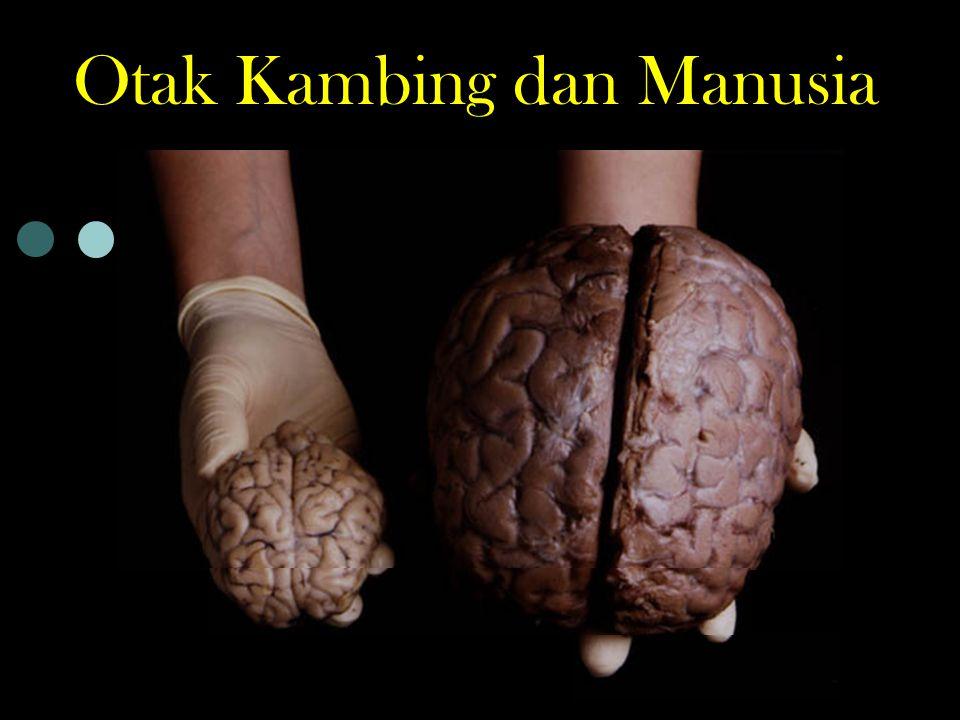 Otak Lelaki - Wanita Berat otak lelaki 1360 gr Berat otak wanita 1250 gr Otak lelaki 110 gr lebih berat dari otak wanita Perbedaan berat itu tidak berpengaruh pada tingkat kecerdasan.