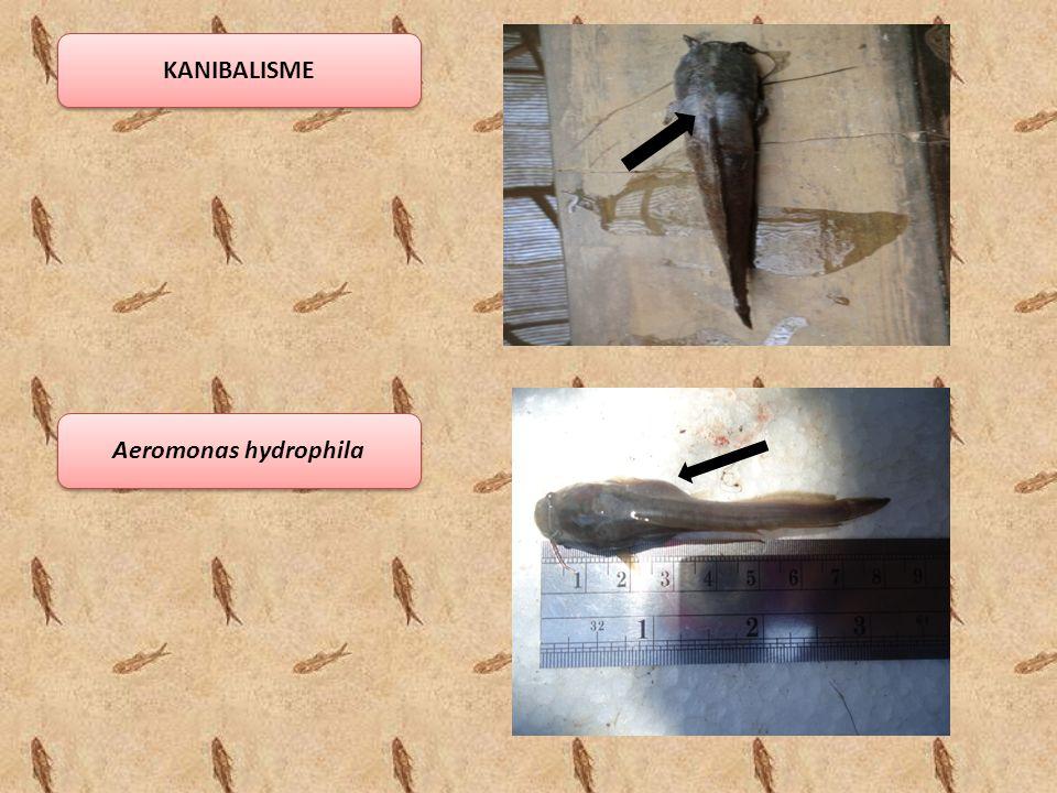 KANIBALISME Aeromonas hydrophila