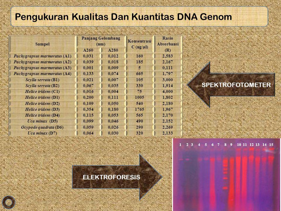 Pengukuran Kualitas Dan Kuantitas DNA Genom Sampel Panjang Gelombang (nm) Konsentrasi/ C (ng/µl) Rasio Absorbansi (R) A260A280 Pachygrapsus marmoratus