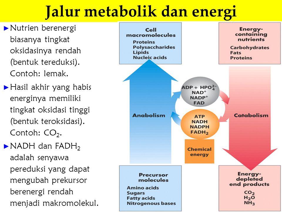 Jalur metabolik dan energi ► Nutrien berenergi biasanya tingkat oksidasinya rendah (bentuk tereduksi). Contoh: lemak. ► Hasil akhir yang habis energin
