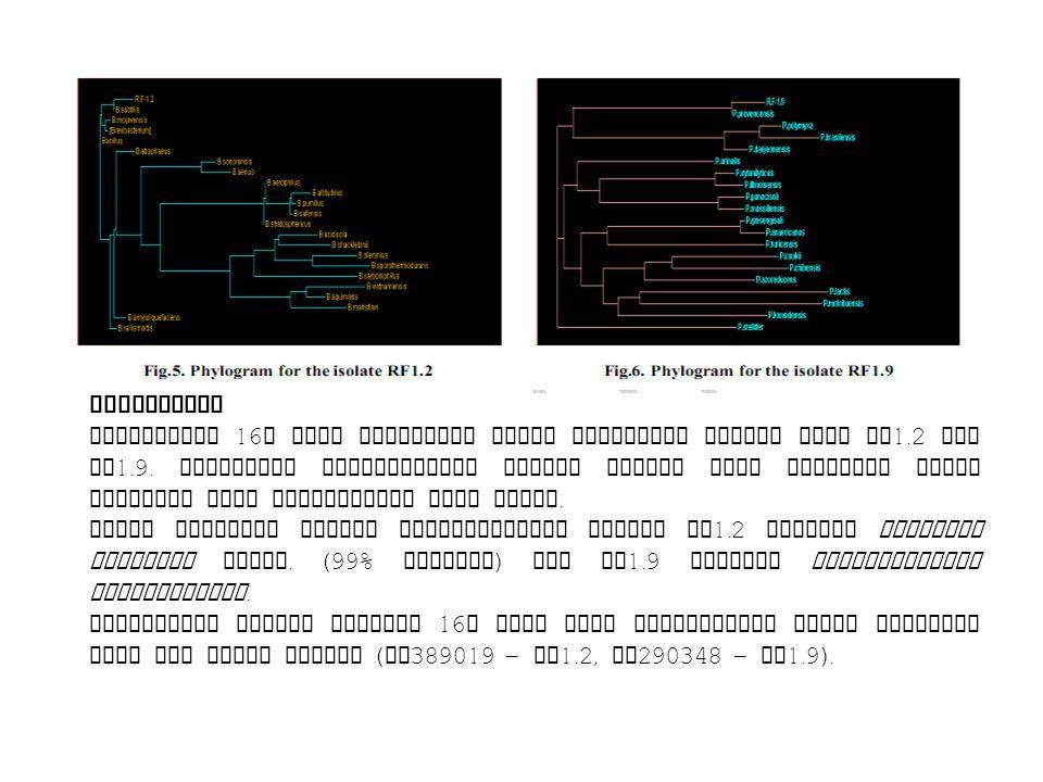 Ribotyping Sequencing 16 S rDNA dilakukan untuk mendorong isolat PGPR RF 1.2 dan RF 1.9. Urutannya dibandingkan dengan urutan yang tersedia dalam data