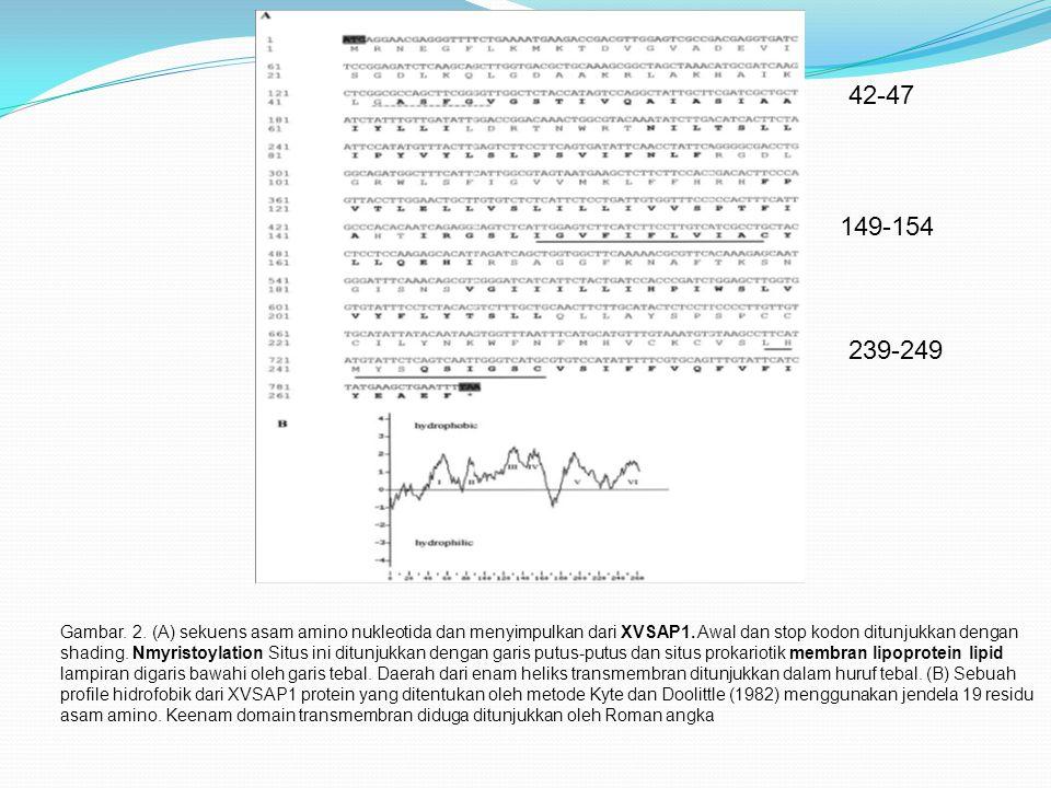Gambar.2. (A) sekuens asam amino nukleotida dan menyimpulkan dari XVSAP1.