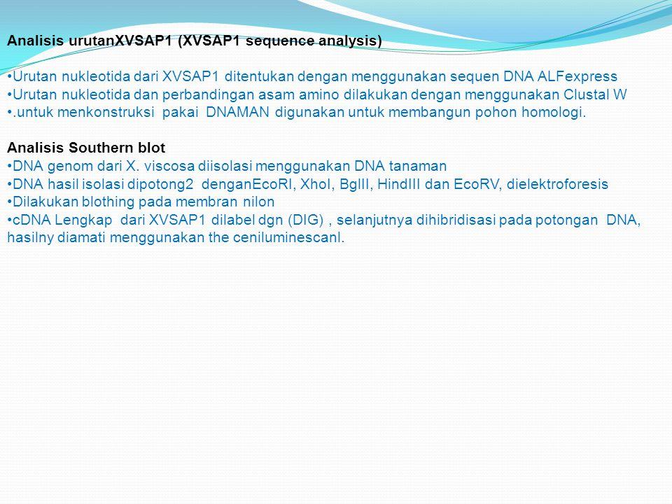 Analisis urutanXVSAP1 (XVSAP1 sequence analysis) Urutan nukleotida dari XVSAP1 ditentukan dengan menggunakan sequen DNA ALFexpress Urutan nukleotida d