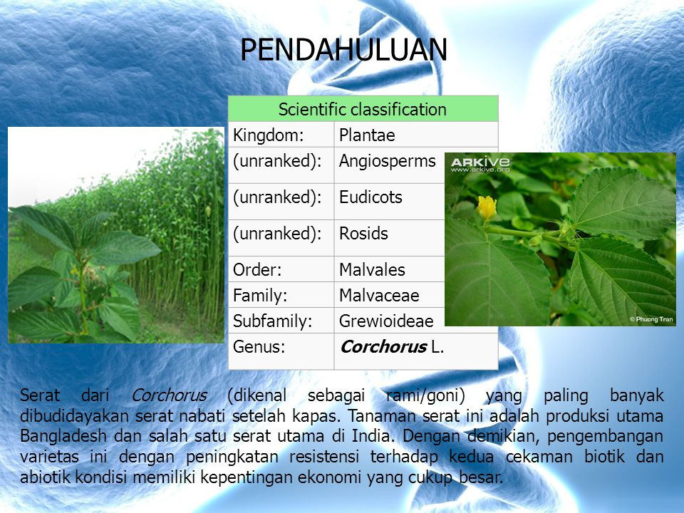 PENDAHULUAN Scientific classification Kingdom:Plantae (unranked):Angiosperms (unranked):Eudicots (unranked):Rosids Order:Malvales Family:Malvaceae Subfamily:Grewioideae Genus:Corchorus L.