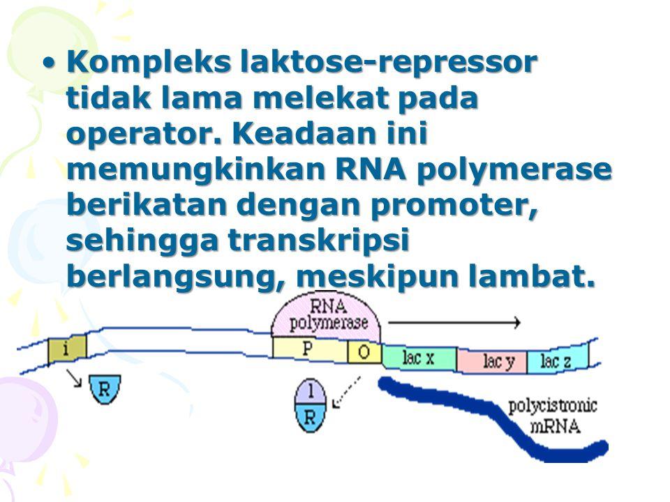 Kompleks laktose-repressor tidak lama melekat pada operator. Keadaan ini memungkinkan RNA polymerase berikatan dengan promoter, sehingga transkripsi b