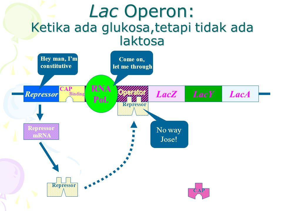 Lac Operon: Ketika ada glukosa,tetapi tidak ada laktosa RepressorPromoter LacYLacALacZOperator CAP Binding RNA Pol. Repressor mRNA Hey man, I'm consti