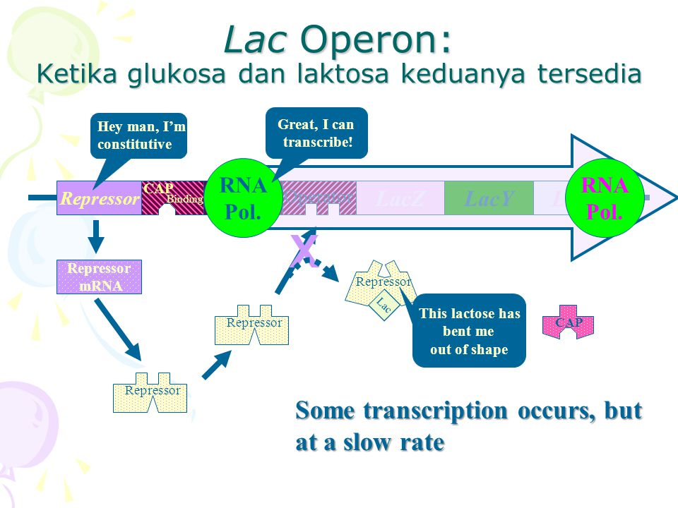 Lac Operon: Ketika glukosa dan laktosa keduanya tersedia RepressorPromoter LacYLacALacZ Operator CAP Binding Repressor mRNA Hey man, I'm constitutive