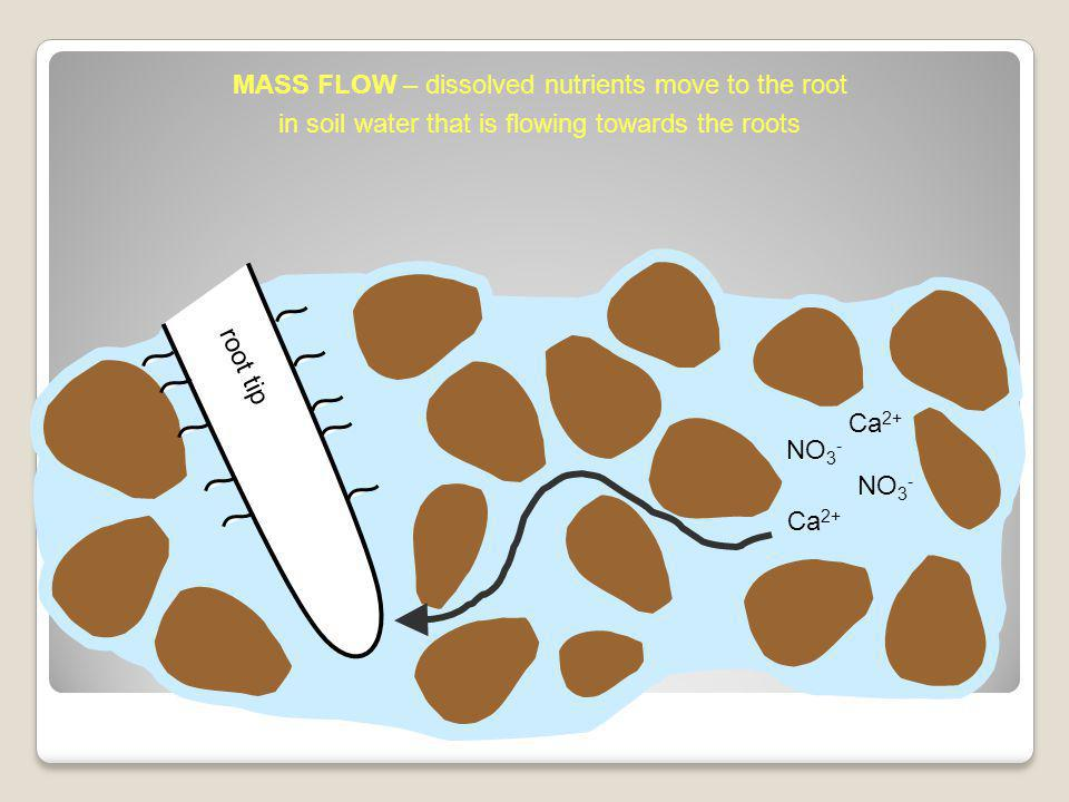 root tip NO 3 - Ca 2+ NO 3 - MASS FLOW – dissolved nutrients move to the root in soil water that is flowing towards the roots