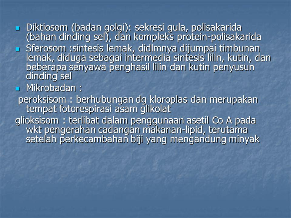 Diktiosom (badan golgi): sekresi gula, polisakarida (bahan dinding sel), dan kompleks protein-polisakarida Diktiosom (badan golgi): sekresi gula, poli