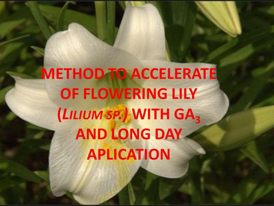 METHOD TO ACCELERATE OF FLOWERING LILY (L ILIUM SP.) WITH GA 3 AND LONG DAY APLICATION