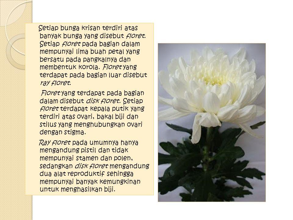 Setiap bunga krisan terdiri atas banyak bunga yang disebut floret. Setiap floret pada bagian dalam mempunyai lima buah petal yang bersatu pada pangkal