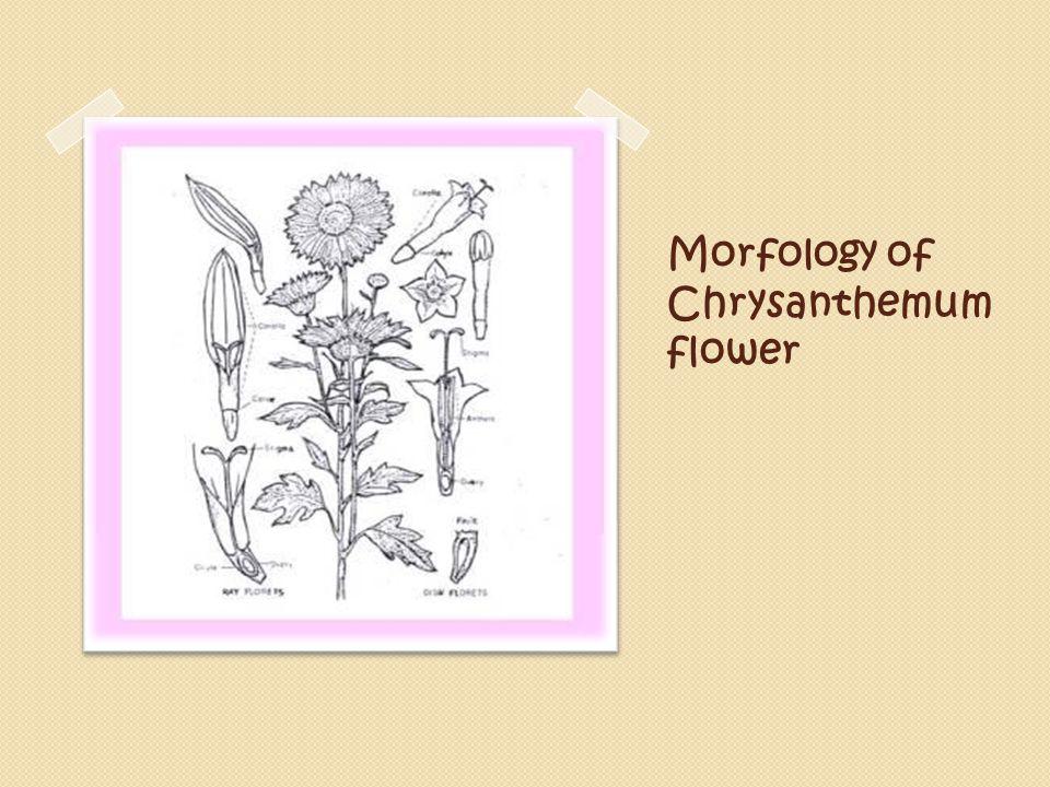Morfology of Chrysanthemum flower