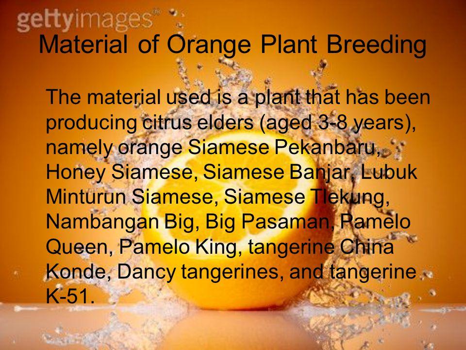 Bahan Pemuliaan Tanaman Jeruk Bahan yang digunakan adalah tanaman tetua jeruk yang telah berproduksi (berumur 3-8 tahun), yaitu jeruk siam Pekanbaru, siam Madu, siam Banjar, siam Lubuk Minturun, siam Tlekung, Besar Nambangan, Besar Pasaman, Pamelo Ratu, Pamelo Raja, keprok Cina Konde, keprok Dancy, dan keprok K-51.