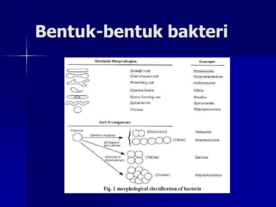 Bentuk-bentuk bakteri