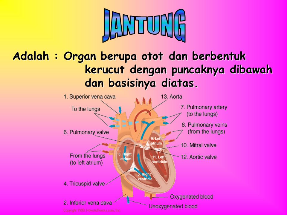1.Jantung 2.Pembuluh Darah 3.Darah dan Komponennya 4.Saluran Linfe