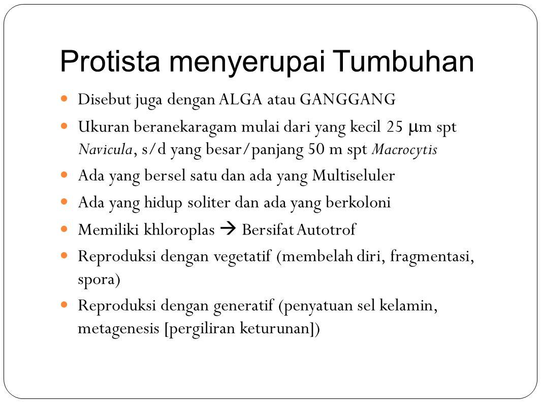 Protista menyerupai Tumbuhan Disebut juga dengan ALGA atau GANGGANG Ukuran beranekaragam mulai dari yang kecil 25  m spt Navicula, s/d yang besar/pan