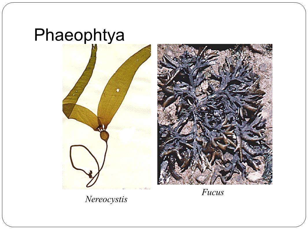 Phaeophtya Nereocystis Fucus