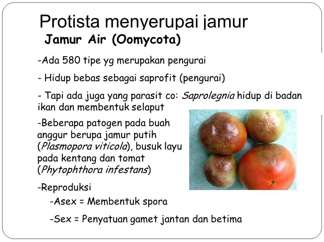 Protista menyerupai jamur Jamur Air (Oomycota) -Ada 580 tipe yg merupakan pengurai - Hidup bebas sebagai saprofit (pengurai) - Tapi ada juga yang parasit co: Saprolegnia hidup di badan ikan dan membentuk selaput -Beberapa patogen pada buah anggur berupa jamur putih (Plasmopora viticola), busuk layu pada kentang dan tomat (Phytophthora infestans) -Reproduksi -Asex = Membentuk spora -Sex = Penyatuan gamet jantan dan betima