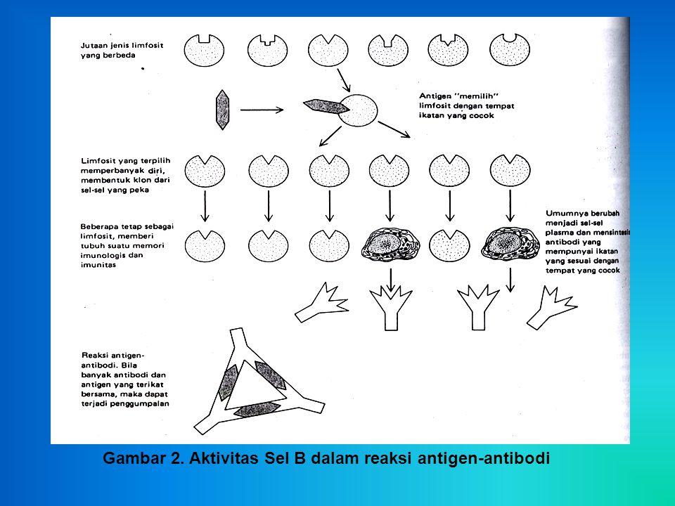 Gambar 2. Aktivitas Sel B dalam reaksi antigen-antibodi