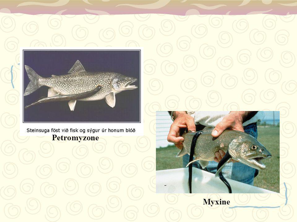 Petromyzone Myxine