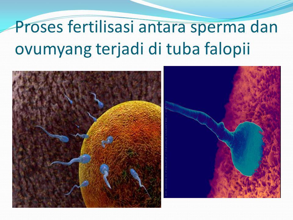 Proses fertilisasi antara sperma dan ovumyang terjadi di tuba falopii