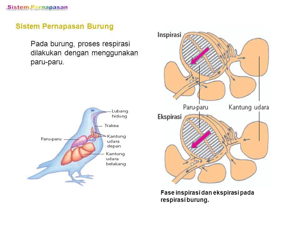 Sistem Pernapasan Reptil Pada reptil, proses respirasi dilakukan dengan menggunakan paru-paru.