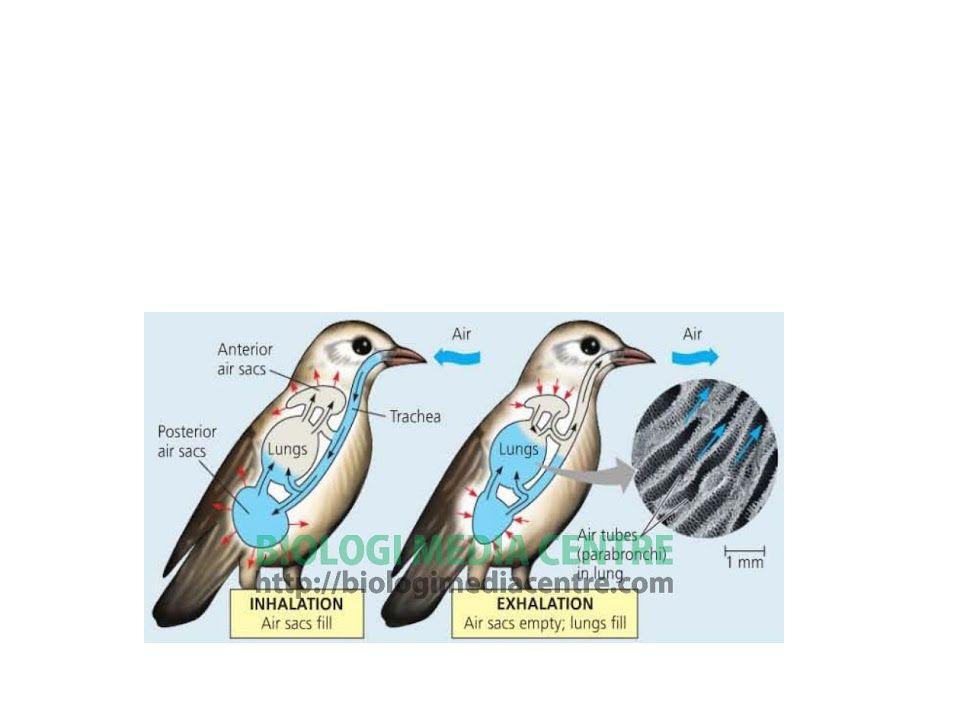 Sistem Pernapasan Burung Pada burung, proses respirasi dilakukan dengan menggunakan paru-paru. Fase inspirasi dan ekspirasi pada respirasi burung.