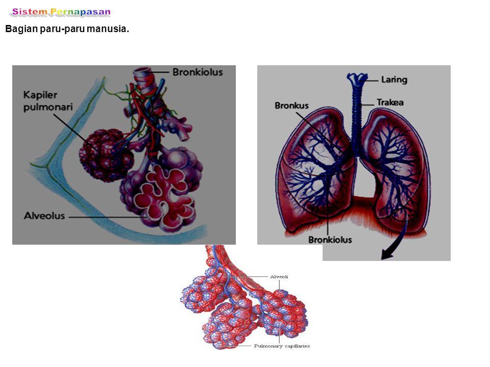 Bagian paru-paru manusia.