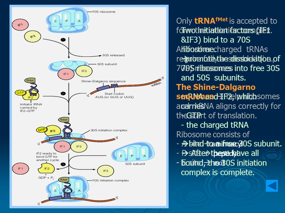 Two initiation factors (IF1 &IF3) bind to a 70S ribosome.  promote the dissociation of 70S ribosomes into free 30S and 50S subunits. mRNA and IF2, wh
