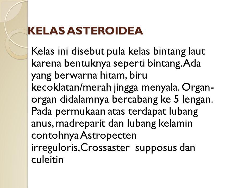 KELAS ASTEROIDEA Kelas ini disebut pula kelas bintang laut karena bentuknya seperti bintang. Ada yang berwarna hitam, biru kecoklatan/merah jingga men