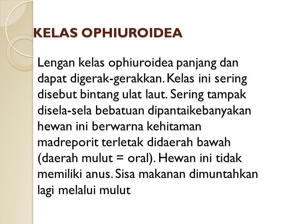 KELAS OPHIUROIDEA Lengan kelas ophiuroidea panjang dan dapat digerak-gerakkan. Kelas ini sering disebut bintang ulat laut. Sering tampak disela-sela b