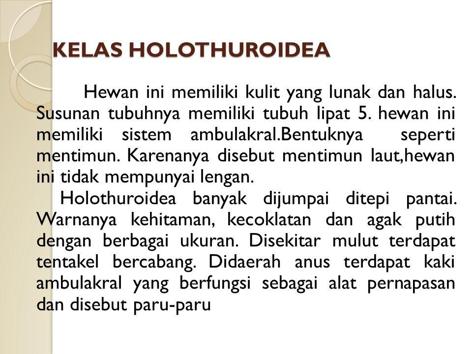 KELAS HOLOTHUROIDEA Hewan ini memiliki kulit yang lunak dan halus.