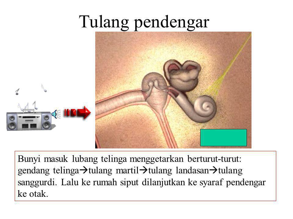 Anatomi Telinga Bagian yang pertama kali bergetar saat telinga mendengar bunyi adalah GENDANG TELINGA/SELAPUT GENDANG