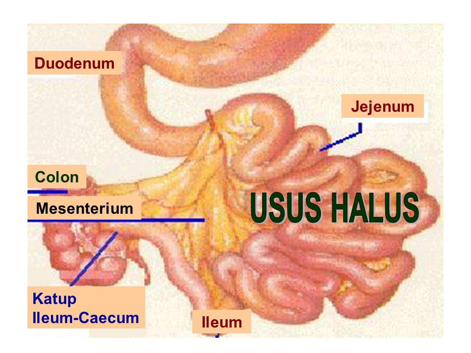 26 Maret 2010Struktur Hewan/Any Aryani/Bio51 Duodenum Jejenum Ileum Colon Mesenterium Katup Ileum-Caecum