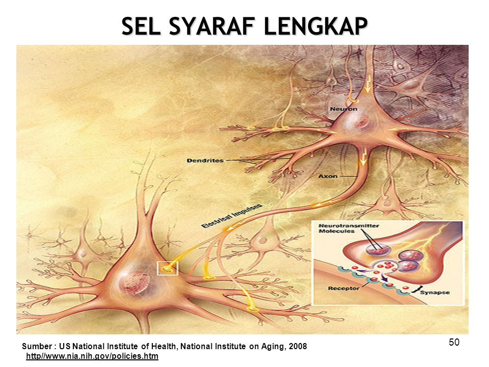 SEL SYARAF LENGKAP 50 Sumber : US National Institute of Health, National Institute on Aging, 2008 http//www.nia.nih.gov/policies.htm
