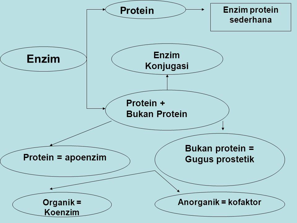 Enzim Protein Enzim protein sederhana Protein + Bukan Protein Protein = apoenzim Enzim Konjugasi Bukan protein = Gugus prostetik Organik = Koenzim Anorganik = kofaktor