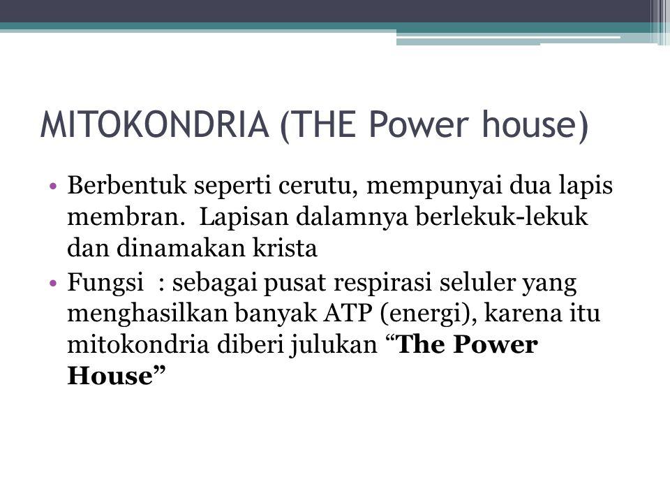 MITOKONDRIA (THE Power house) Berbentuk seperti cerutu, mempunyai dua lapis membran. Lapisan dalamnya berlekuk-lekuk dan dinamakan krista Fungsi : seb