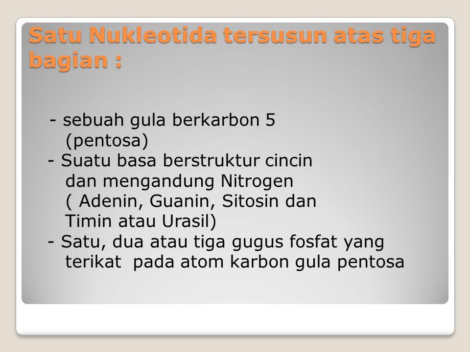 Satu Nukleotida tersusun atas tiga bagian : - sebuah gula berkarbon 5 (pentosa) - Suatu basa berstruktur cincin dan mengandung Nitrogen ( Adenin, Guan