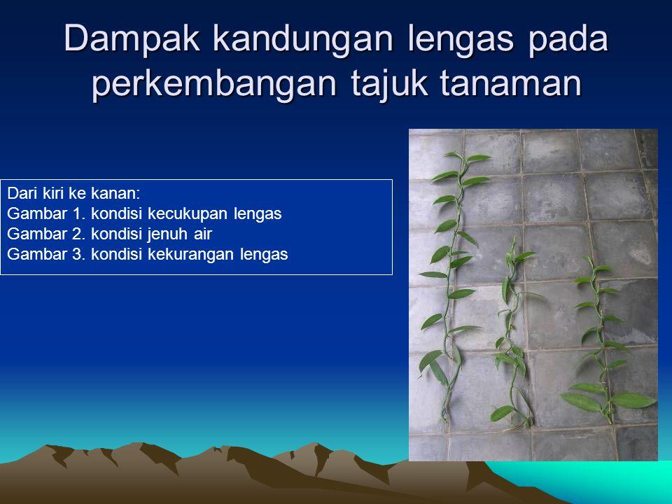 Dampak kandungan lengas pada perkembangan tajuk tanaman Dari kiri ke kanan: Gambar 1. kondisi kecukupan lengas Gambar 2. kondisi jenuh air Gambar 3. k